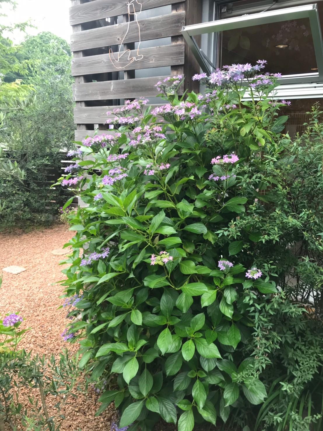 庭の花_190619_0006